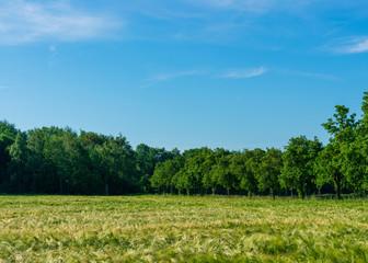 Feld mit Sommerweizen umgeben von Bäumen. Standort: Deutschland, Nordrhein-Westfalen, Borken