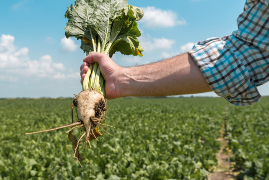 Farmer holding extracted sugar beet root crop