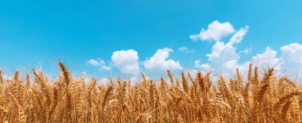 Fototapeta Golden wheat field panoramic low angle view obraz