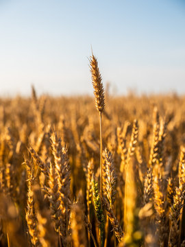 Golden ripe wheat field, just before harvesting