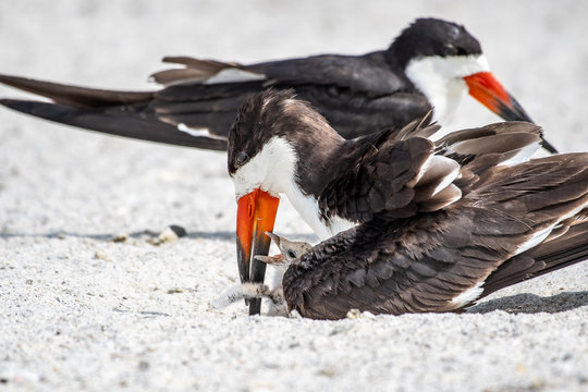 Tender moment of parenting with a baby black skimmer