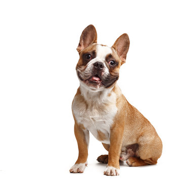 young french bulldog sitting on a white background.