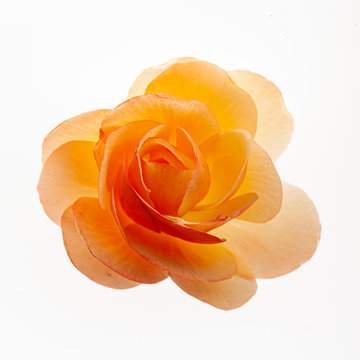 begonia flower on the white background
