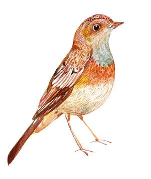 Bird Nightingale watercolor illustration isolated white background