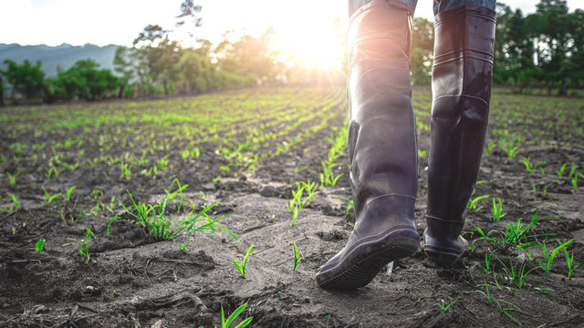 Farmer in rubber boots walking in the cornfield at sunset. agricultural concept.