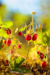 Wild strawberries at sunset in forest.