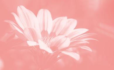 Blurred image of gerbera flowers