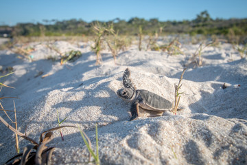 Baby Green sea turtle on the beach.