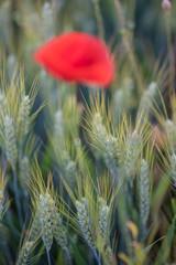 Sommerwiese, Getreide