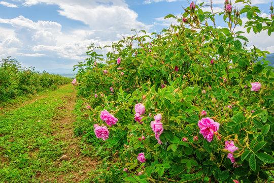 Bulgarian rose valley near Kazanlak. Rose Damascena fields for rose oil production.