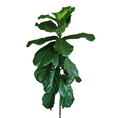 Wall Mural - Green leaves of fiddle-leaf fig tree (Ficus lyrata) the popular ornamental tree tropical houseplant isolated on white background, clipping path included.