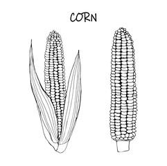 Vector illustration of corn - black outline doodle.