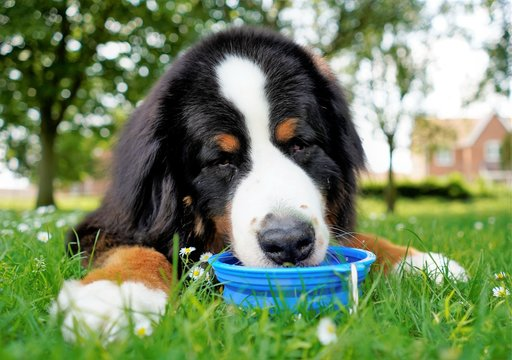 Portrait, close up of Bernese Mountain Dog, drinking water from blue water  bowl. Lying on the green grass, dog friendly park.