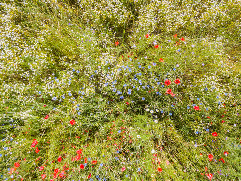 Aerial view of wild flowers in vivid colors. Natural rural scene with poppy flowers.