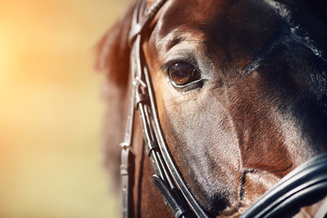 Face of a beautiful Bay horse with brown eyes closeup. In the face wearing a black leather bridle,...