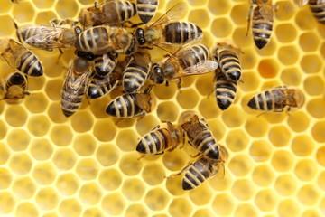 Bienen bei der Honigernte