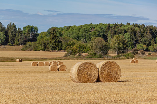 Rural landscape with hay bales on the mown field with picturesque forest on the background, Sweden