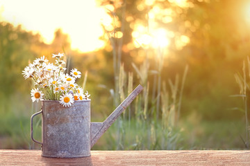 bouquet of daisies in watering can, summer sunny garden. Summer time season concept. beautiful...