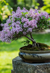 Photo Stands Bonsai Miniature japanese bonsai tree isolated in a small pot