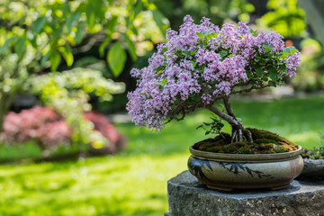 Foto op Plexiglas Bonsai Miniature japanese bonsai tree isolated in a small pot