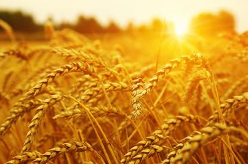 Wheat field on sun. Wall mural