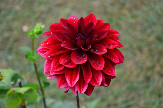 Vivid red dahlia flower with water drops in a garden, top view