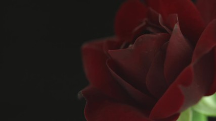Fotoväggar - Beautiful red rose flower open on black background. Blooming dark purple rose flowers opening closeup. Blossom closeup. Timelapse 4K UHD video footage. 3840X2160