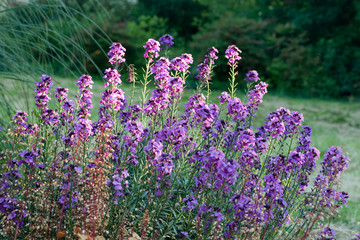 Catmint tall purple flowers in cottage garden