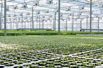 Lettuce growing in greenhouse. Hydroponic vegetables