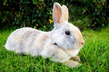 mottled dwarf rabbit - pet