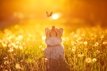 beautiful red dog puppy Corgi fun catches a butterfly flying on a Sunny warm summer meadow