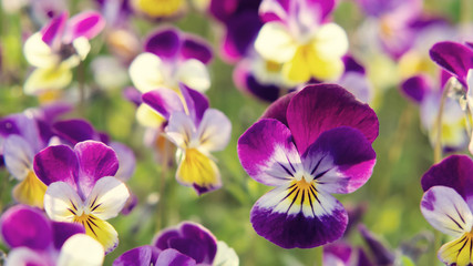 group of perennial yellow-violet Viola cornuta, known as horned pansy or horned violet