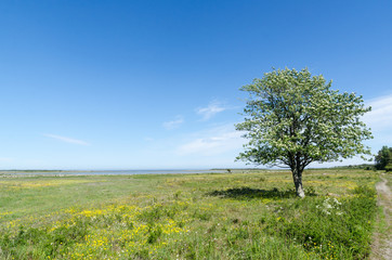 Lone tree in a beautiful green and bright coastland by springtime