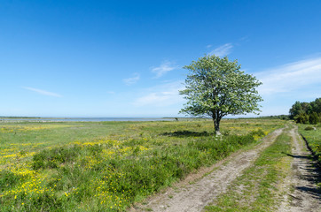 Lone tree by a dirt road in a beautiful coastland by springtime