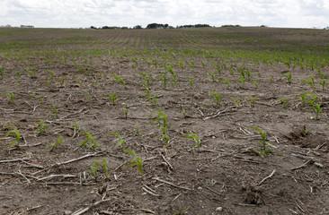 Cereal crops affected by the recent drought near Pilot Butte, Saskatchewan