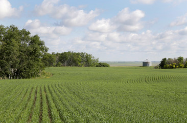 Cereal crops affected by the recent drought near Southey, Saskatchewan