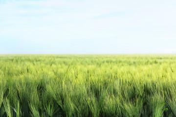 Green wheat field on sunny day Fotoväggar