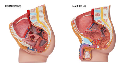 Plastic human body model with organs, urinary, pelvis part
