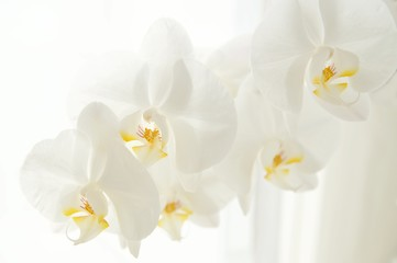 Papiers peints Orchidée Branch of white Moon orchids. Close up of white orchids on light background. Moon Orchid flower on blur background in composition with copy space.
