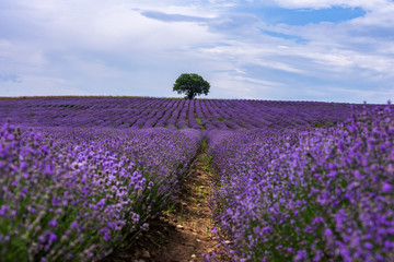 Poster Prune Lavender flowers blooming field and a lonely tree uphill on hot summer day