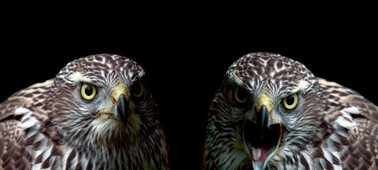 Two hawks close-up on black background Wall mural