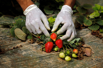 Palestinian worker collects strawberries at a farm in Tubas, in the in the Israeli-occupied West Bank