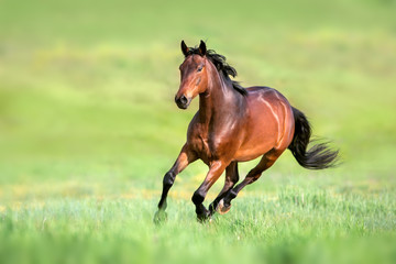 Fotobehang Paarden Bay horse in motion on on green grass