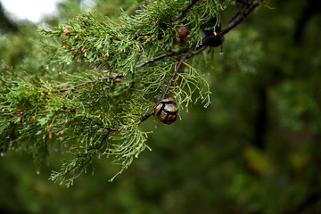 Green Spruce Trees With Berries..