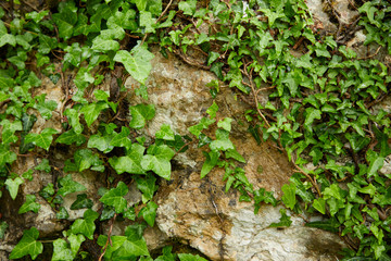 old wall with ivy leaves