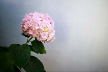 Closeup of a Pale Pink Hydrangea Flower Against a Bluish Gray Background