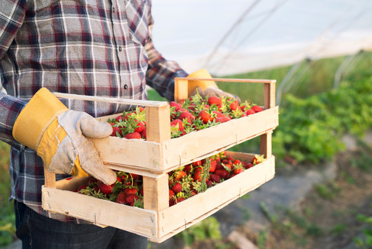 Shot of an unrecognizable farmer in casual clothing carrying crate full of freshly harvested strawberries. Close up view of strawberry fruit in greenhouse growing field. Organic fruit production.