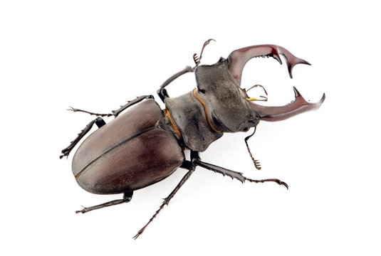 Male stag beetle, Lucanus cervus isolated on white background