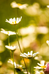 marguerite, flowers in a meado in spring in Germany