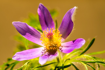 common pasque flower with flower